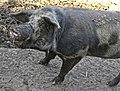 Dänisches Sortbroget Schwein (9).jpg