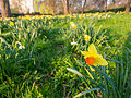 Daffodils (7013601847).jpg