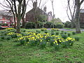 Daffodils on Rose Lane, Mossley Hill.jpg