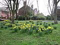 Daffodils on Rose Lane, Mossley Hill.jpg