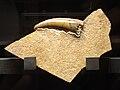Dakosaurus sp.JPG