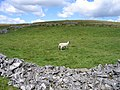 Dales sheep and field - geograph.org.uk - 706958.jpg