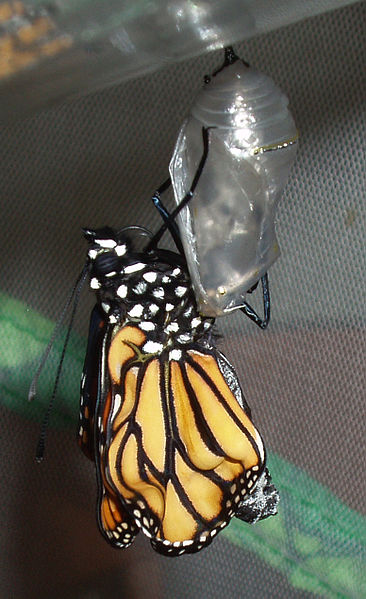 File:Danaus plexippus emerging from chrysalis 02.jpg