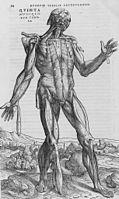 De humani corporis fabrica (24) .jpg