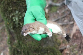 Stoats in New Zealand - A dead stoat retrieved from a trap in Fiordland