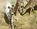 Deer, The Magnetic Hill Zoo, Moncton, New Brunswick, Canada (38652948000).jpg