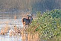 Deer feeding on marsh plants (6893889381).jpg