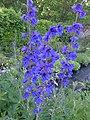 Delphinium sp. - Flickr - peganum (2).jpg