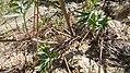 Delphinium xantholeucum 4.jpg