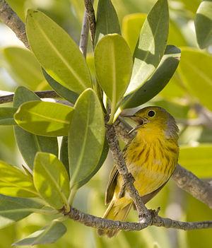A Yellow Warbler in Parque Nacional Ciénaga de...