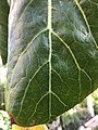 Dendroseris litoralis Kew texture top leaf tip.jpg