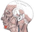 Depressor labii inferioris.png