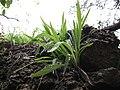Dew on Unknown Grass or Sedge - panoramio.jpg