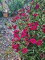 Dianthus barbatus 155538.jpg