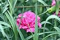 Dianthus caryophyllus Blueboy 0zz.jpg