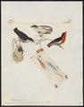 Dicaeum hirundinaceum - 1820-1860 - Print - Iconographia Zoologica - Special Collections University of Amsterdam - UBA01 IZ19000277.tif