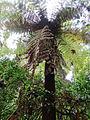 Dicksonia gigantea (11310015693).jpg