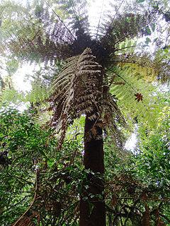 240px dicksonia gigantea (11310015693)