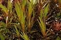 Dicranum brevifolium (a, 113253-471418) 6881.JPG
