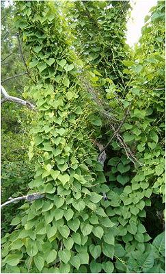 Dioscorea balcanica, habit of a flowering plant