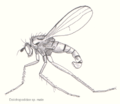 Dip-doliochopodidae-male.png