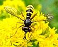 Diptera (2739825674).jpg