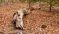 Dode bomen zijn onmisbaar in de voedselkringloop. Locatie, Kroondomein 02.jpg