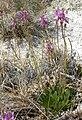 Dodecatheon pulchellum 1.jpg
