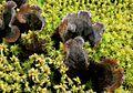 Dog lichen - Flickr - S. Rae.jpg