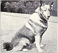 Dog of Noorland from 1915.JPG