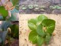 Dollarweed(Hydrocotyle umbellata).png