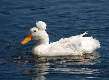 English: Domestic crested duck (a variant of A...