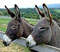 Donkeys (1130113).jpg