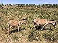 Donkeys In Kiserian.jpg
