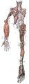 Dorsal muscles.png