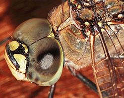 Dragonfly compound eyes02.jpg