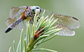 Dragonfly ran-327.jpg