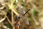 Dragonlet (Erythrodiplax basalis) female.JPG