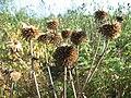 Dried Echinops sphaerocephalus.jpg