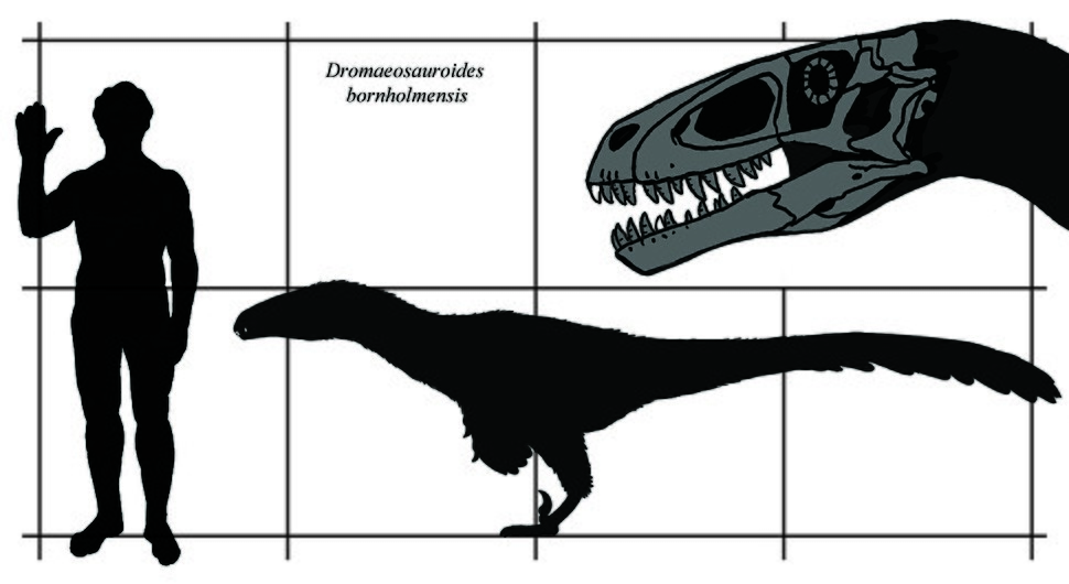 Dromaeosauroides size