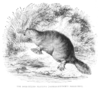 Duck-Billed Platypus 1853.png