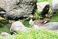 Ducks of Zama 101 130703-A-VH820-242.jpg