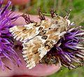 Dusky Sallow. Eremobia ochroleuca - Flickr - gailhampshire (4).jpg