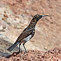 Dusky sunbird (Cinnyris fuscus) male.jpg