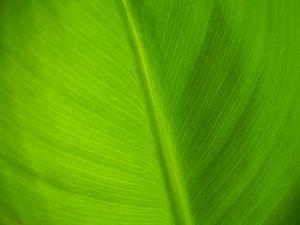 Dwarf Cavendish banana - Close up photo of a leaf from the Dwarf Cavendish.