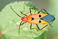 Dysdercus cingulatus (red cotton stainer)