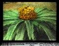 ETH-BIB-Cycas revoluta, Jardin d'essai, Alger-Dia 247-08073.tif