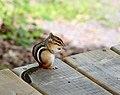 Eastern Chipmunk Tamias striatus 3.jpg