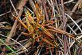 Eastern Lubber Grasshopper - Romalea microptera, Anhinga Trail, Everglades National Park, Homestead, Florida.jpg