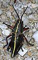 Eastern Lubber Grasshopper nymph - Romalea microptera, Babcock-Webb Wildlife Management Area, Punta Gorda, Florida.jpg